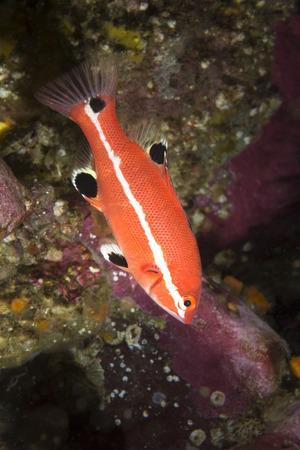 Red Drum Sheepshead Fish