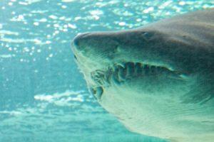 Bull Shark Deep Sea Fishing