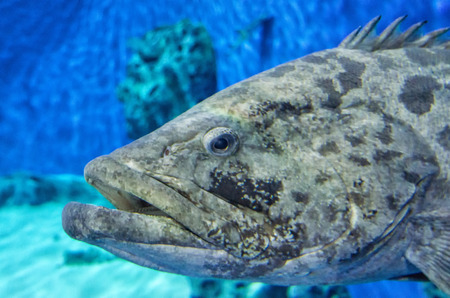Deep Sea Fishing Grouper Fish