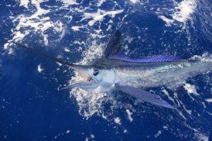 White Marlin Deep Sea Fishing