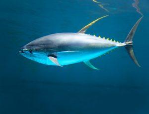 Tuna Deep Sea Fishing