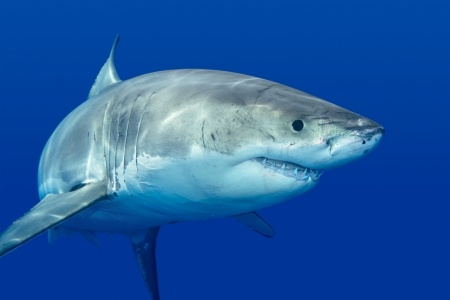 Great White Shark Fish Image Shark Fishing