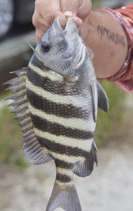 Fish With Teeth Saltwater Sheepshead Convict