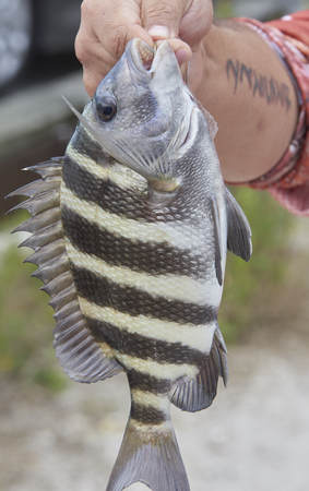 Fish With Teeth Saltwater Sheepshead Convict