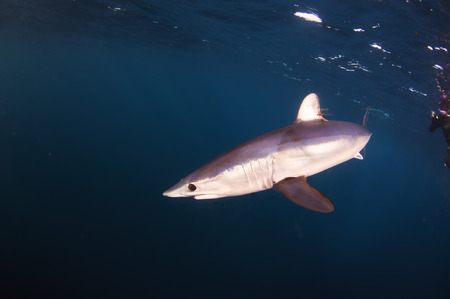 Mako Shark Fish Image Shark Fishing