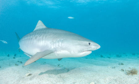 Tiger Shark Fish Image Shark Fishing