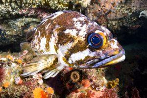 deep sea fishing rockfish