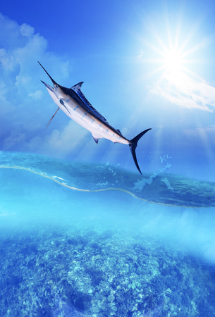 Blue Marlin Ocean Bill fish Sport Fishing