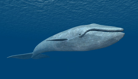Blue Whale Picture Guide for Whale Watching