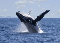 Humpback whale breaching off the coast of queensland