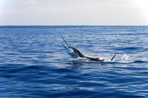 Deep Sea Fishing Marlin Billfish